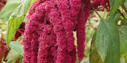 Amaranthus – Types of Winter Flowers & Plants for your Home – LuxDeco.com Style Guide