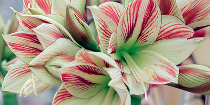 Amaryllis – Types of Winter Flowers & Plants for your Home – LuxDeco.com Style Guide