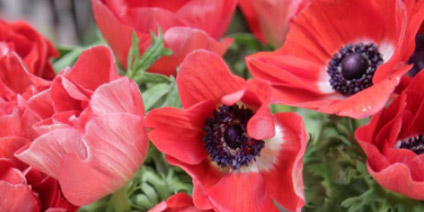 Anemone - Types of Winter Flowers & Plants for your Home