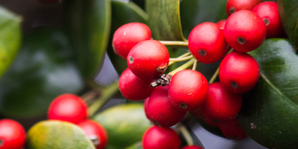 Berries - Types of Winter Flowers & Plants for your Home
