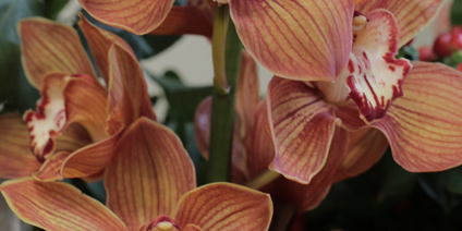 Cymbidium Orchid - Types of Winter Flowers & Plants for your Home