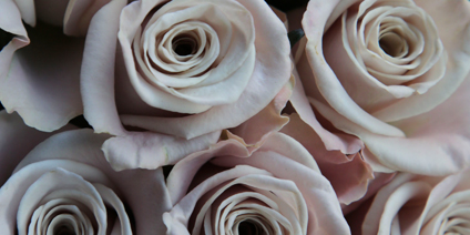 Rose - Types of Winter Flowers & Plants for your Home